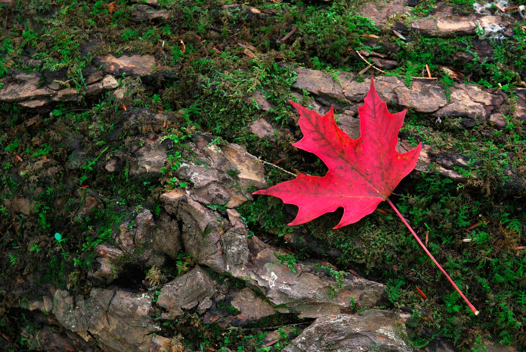 Red maple leaf and log with moss