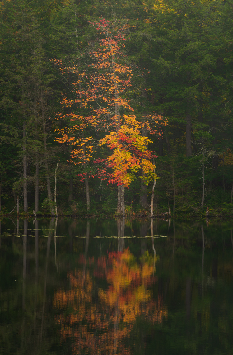 Autumn Maple Reflected