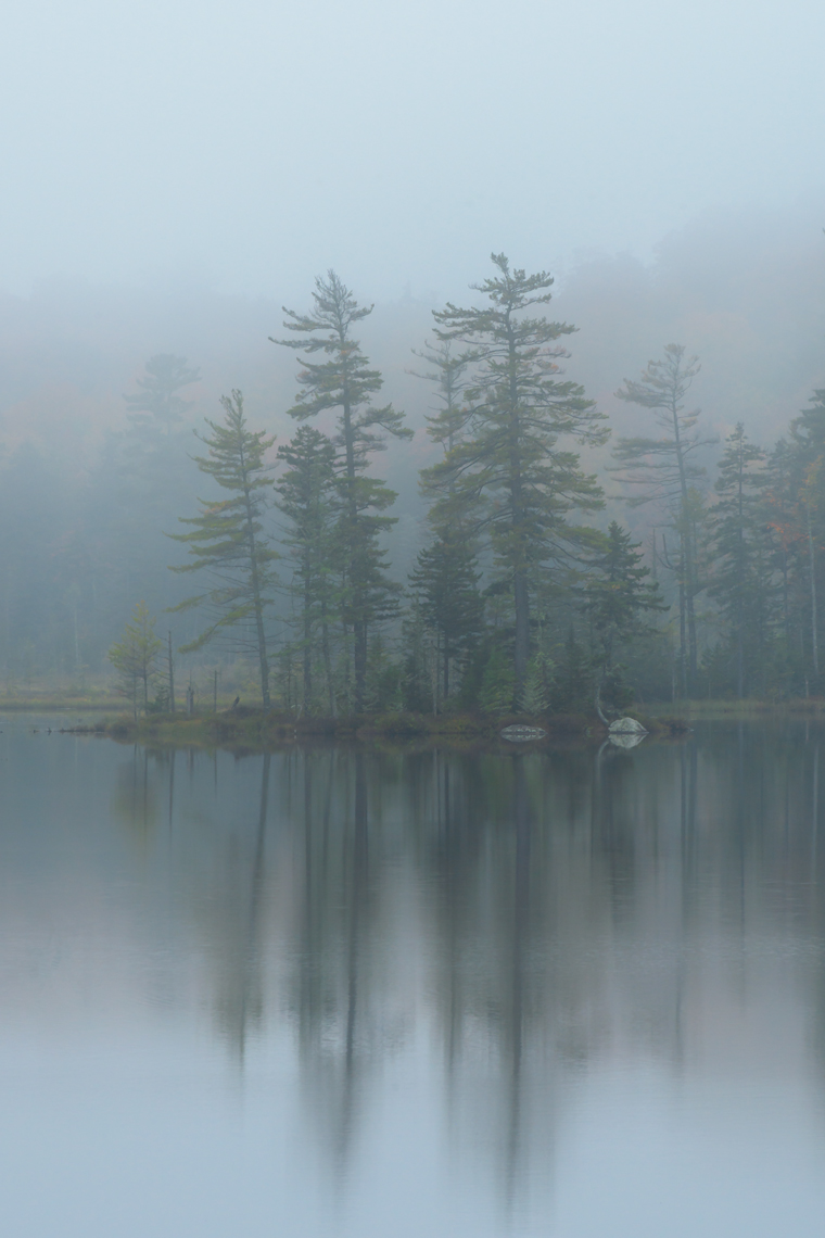 White Pines in the Mist