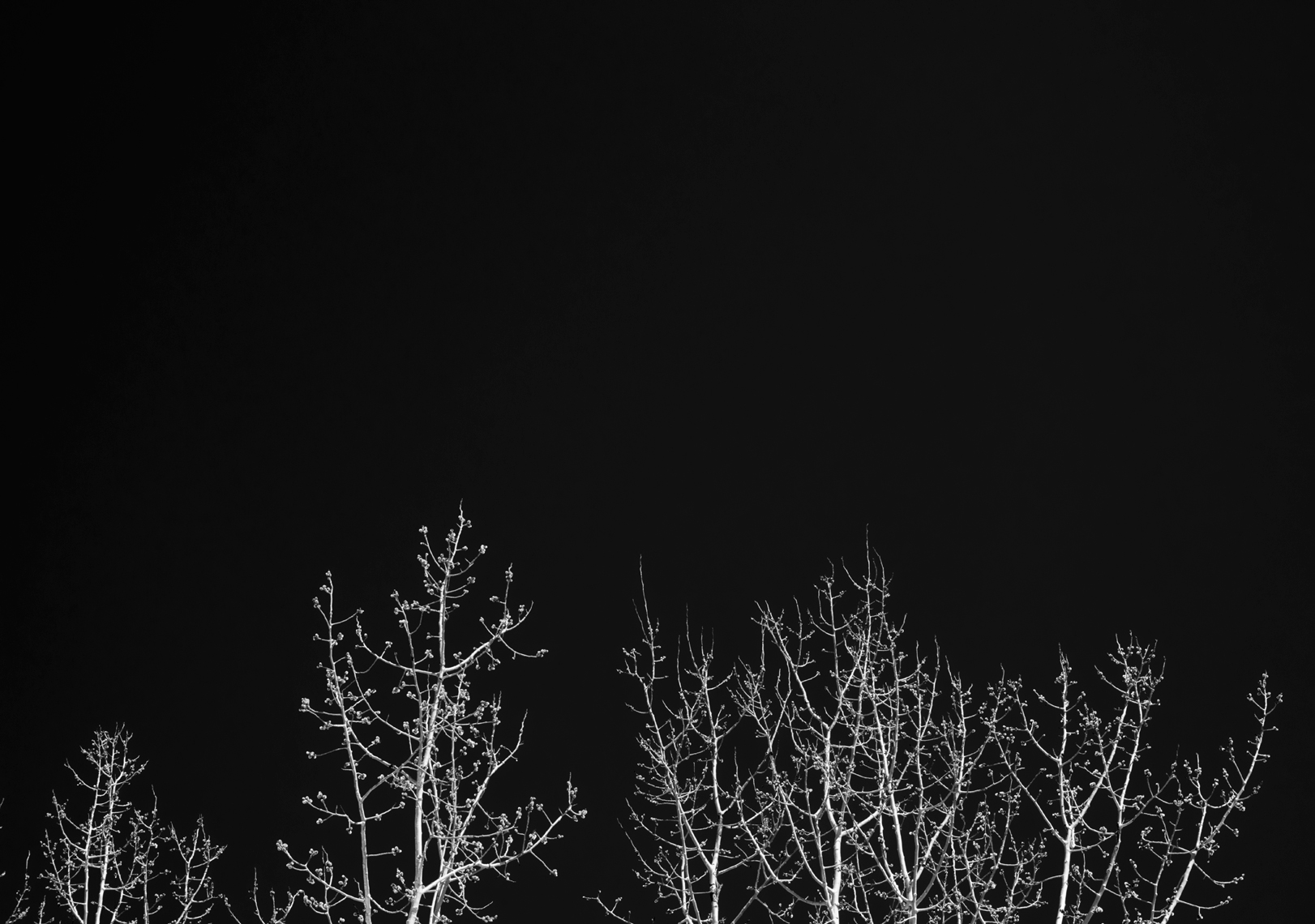 Aspens in black-and-white