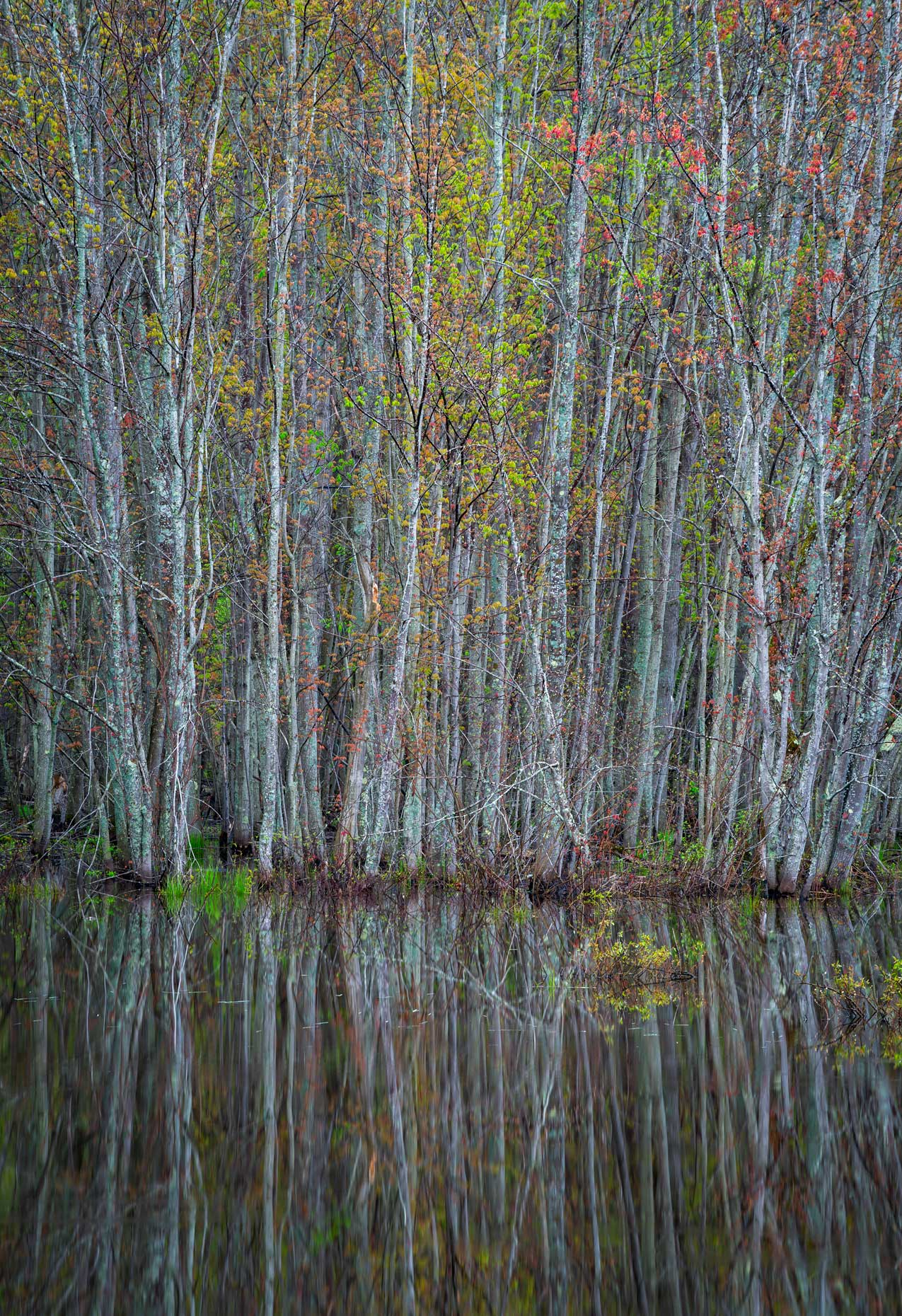 Spring Trees Reflected