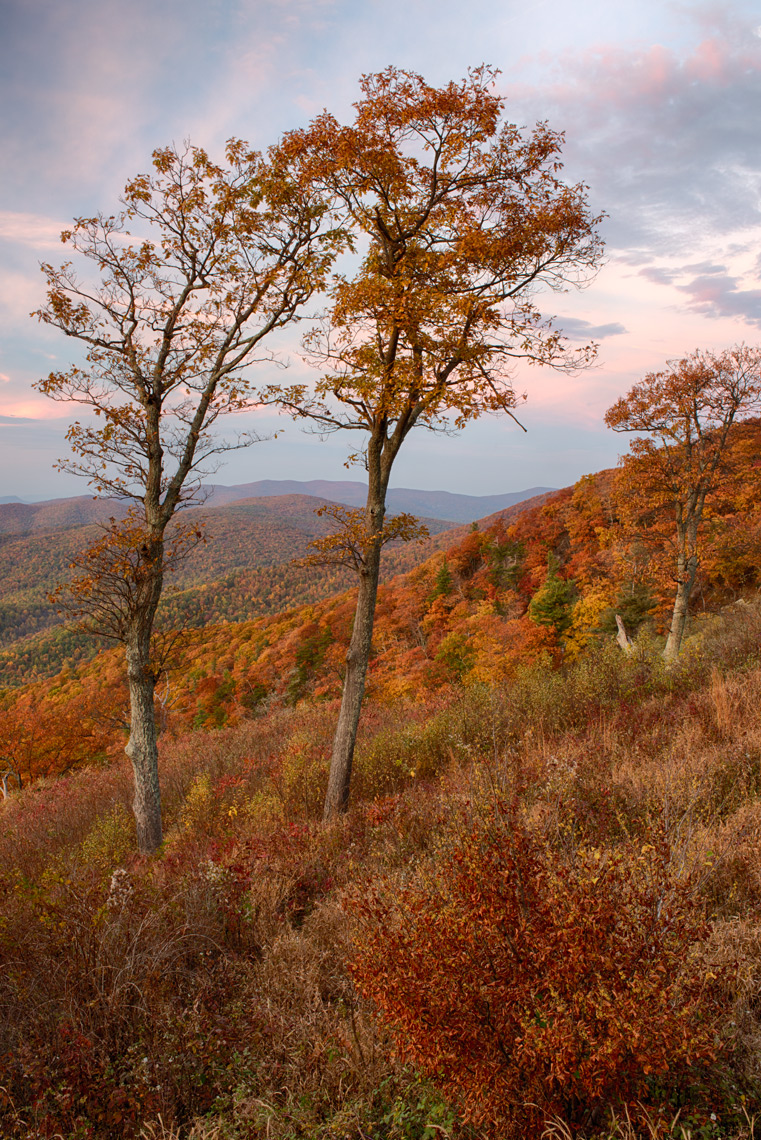 Autumn oak trees, Shenandoah National Park, Virginia