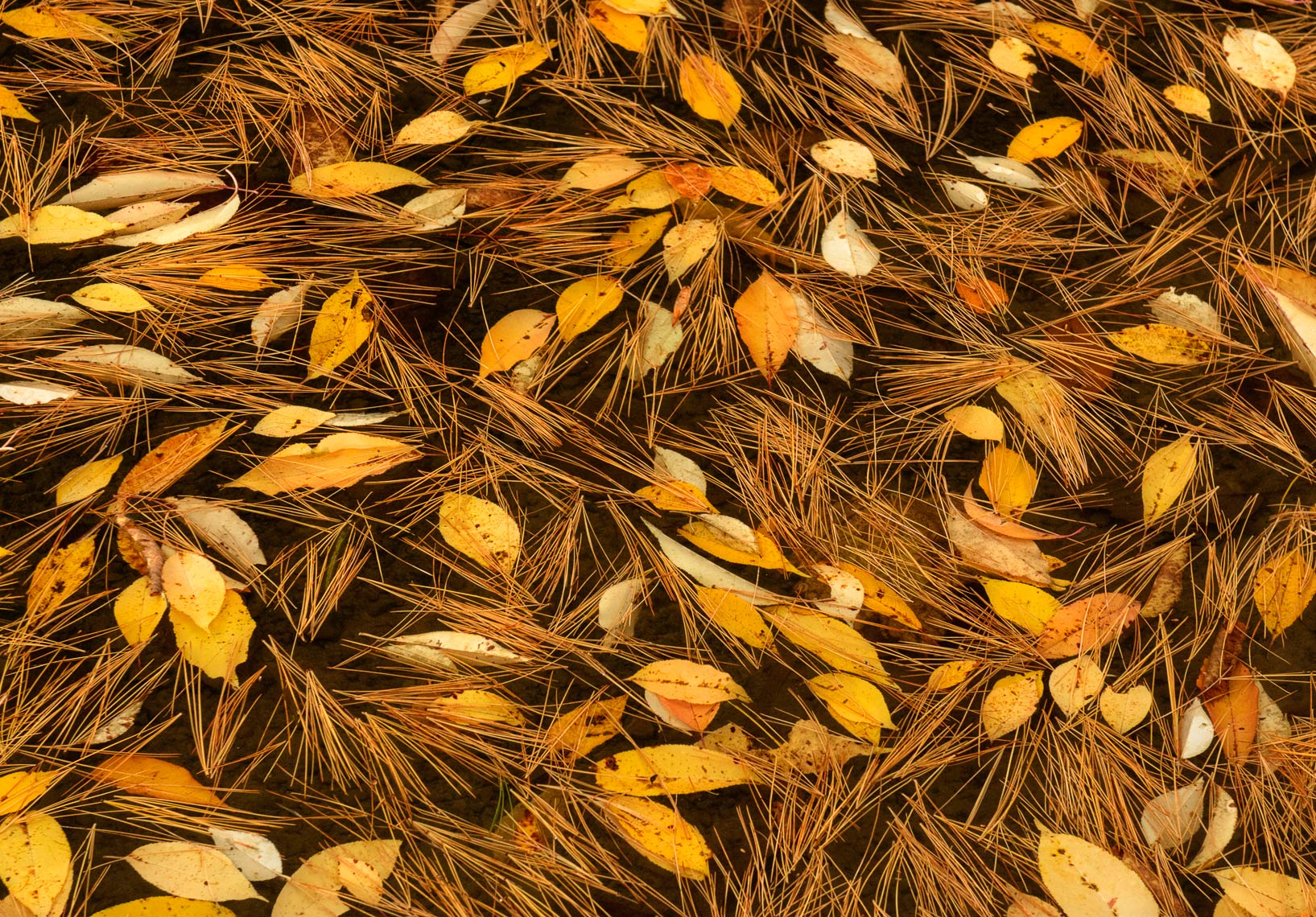 Pine needles and autumn leaves