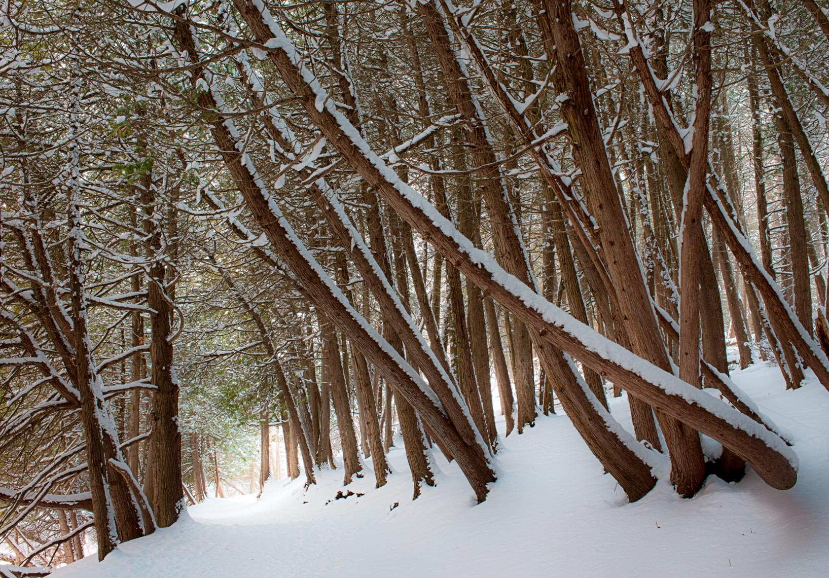Cedar Trees in Winter