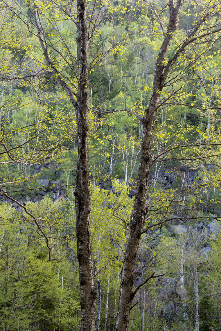 Birches in Spring, Adirondack Mountains, New York State