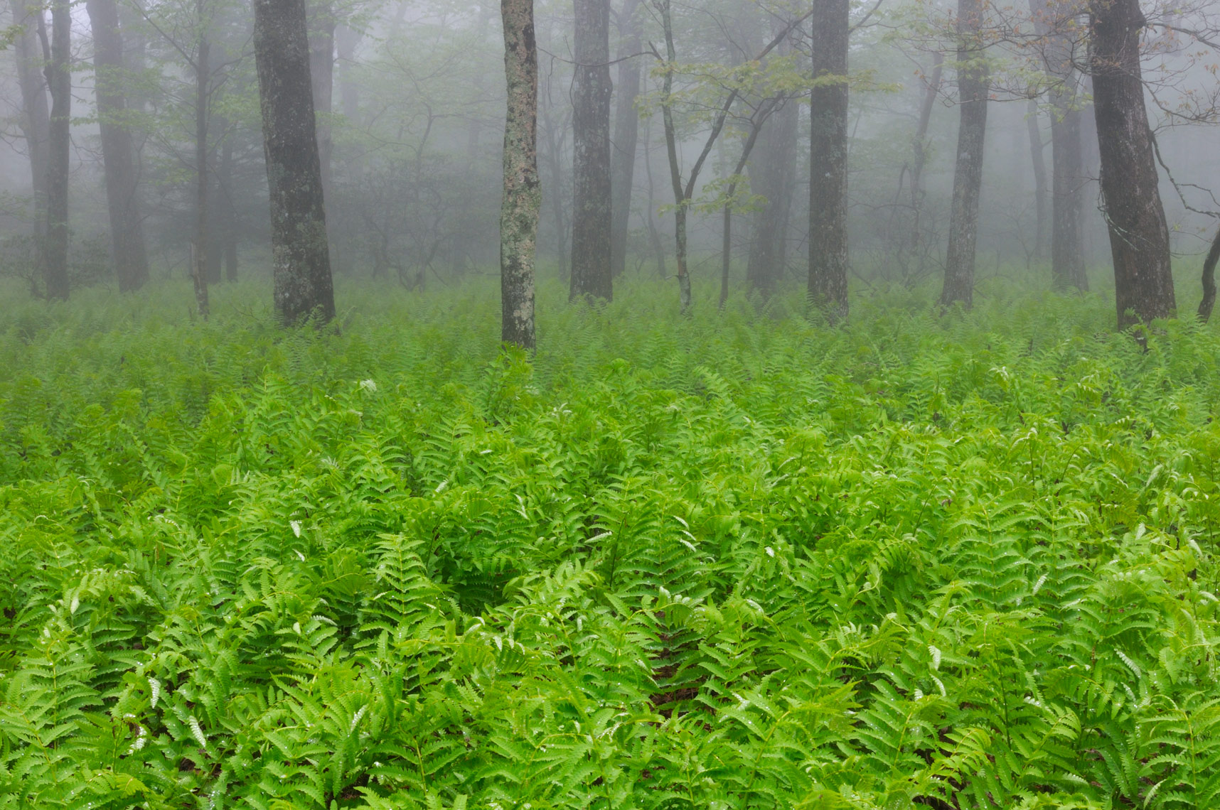 Ferns in the mist, Shenandoah National Park, Virginia