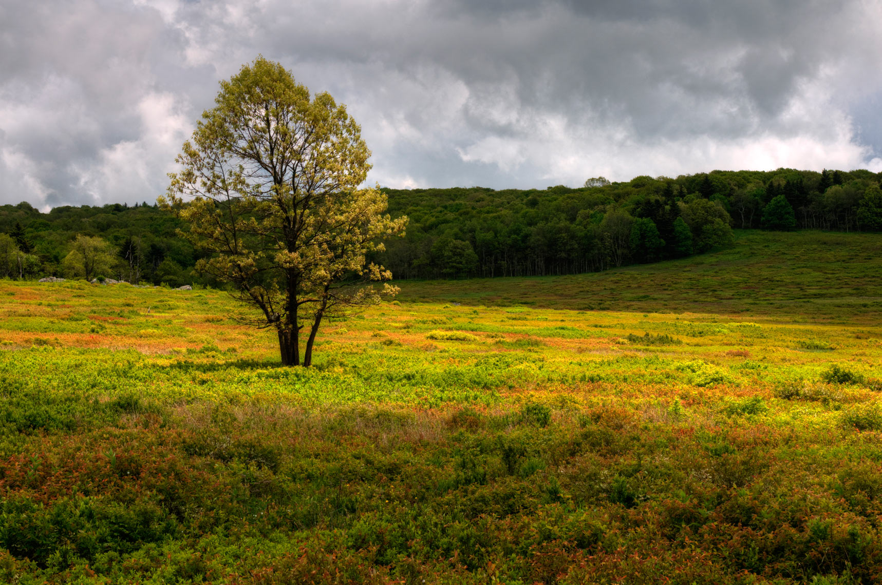 Lone tree in Big Meadow, Shenandoah National Park, Virginia
