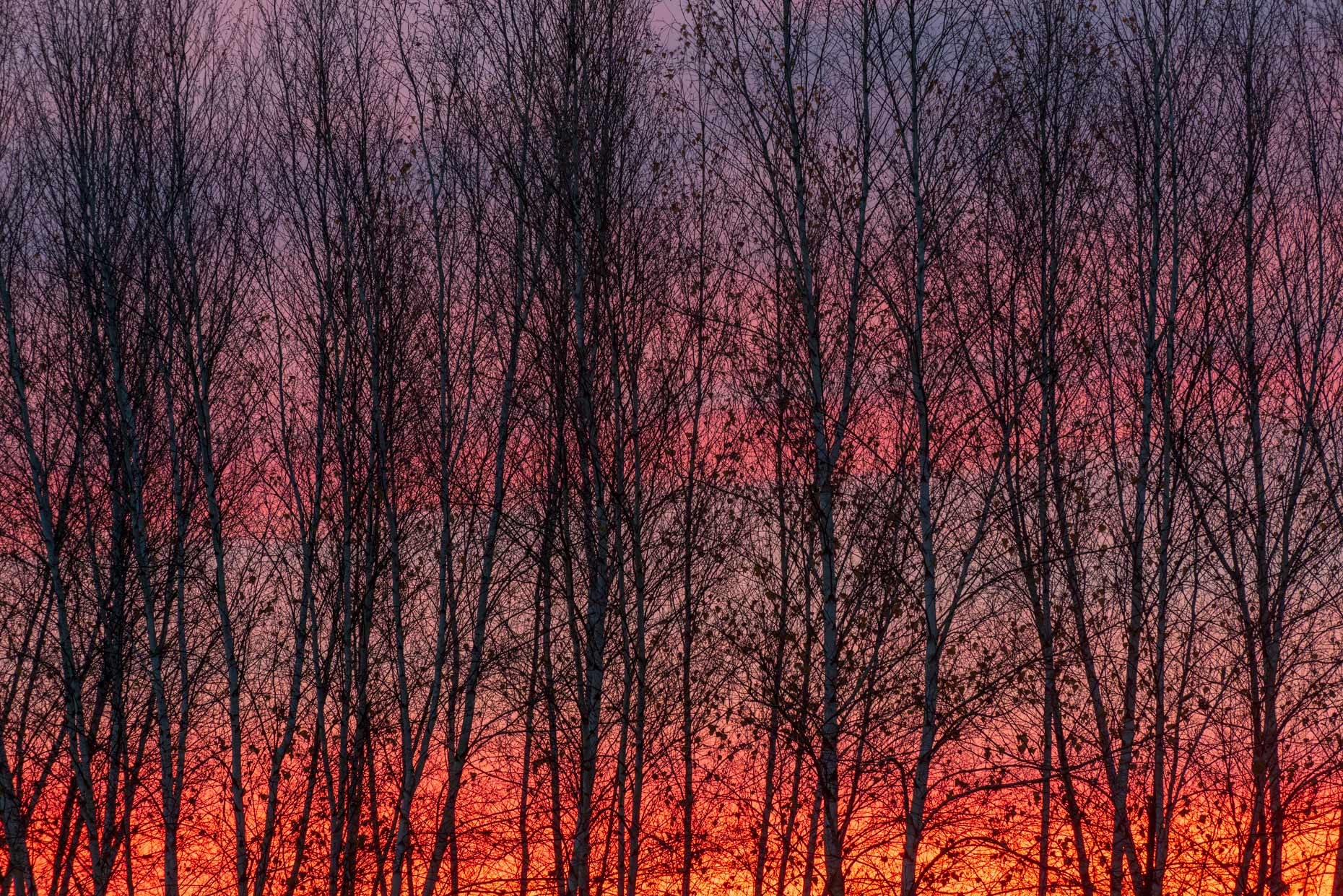 Sunrise Birches