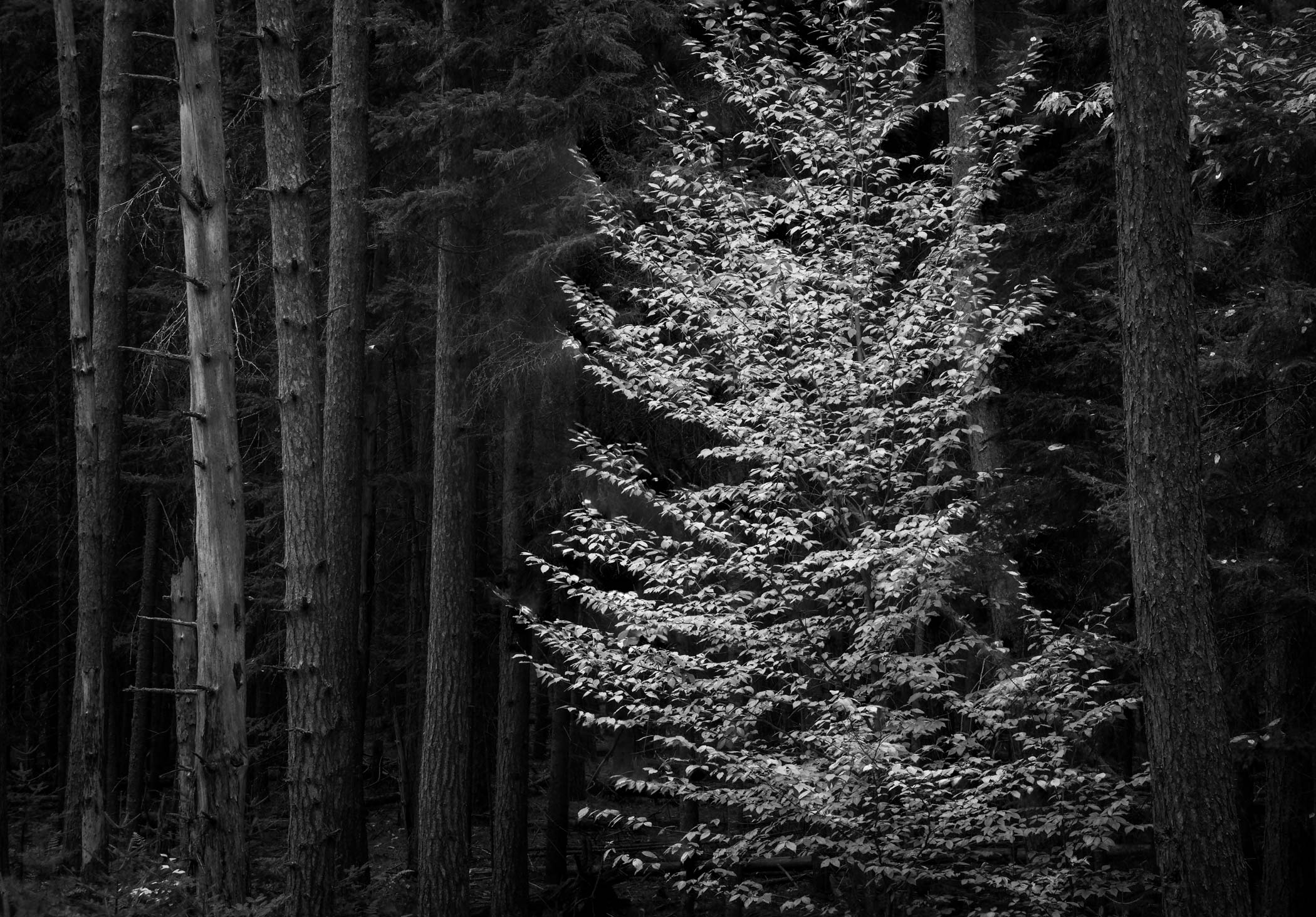 Beech Among the Pines